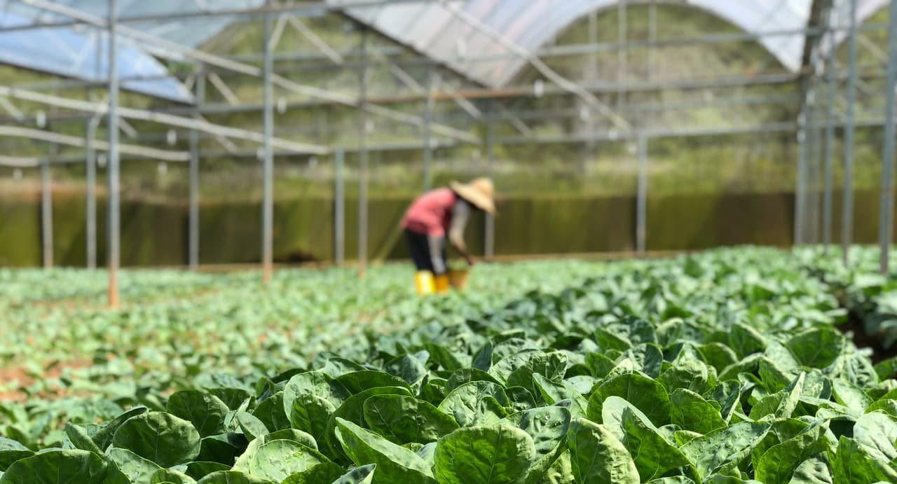 Horticulture lettuce